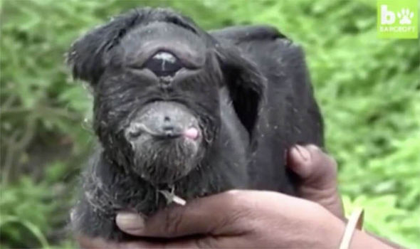 「インドで一つ目のヤギが生まれ、崇拝の対象に・・・!」