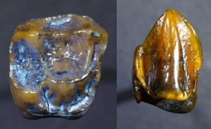 人類の歴史を変える?!970万年前の「歯」がドイツで発見される!
