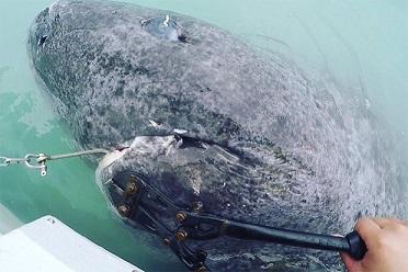 北大西洋で512歳のサメ見つかる!世界最古の脊椎動物か!