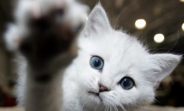 猫にも「右利き」「左利き」があった!