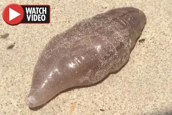 何だこれは?!タイのリゾートビーチで無数の奇怪な生物が打ち上がる!