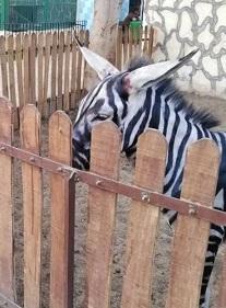 ロバを白黒に塗って「シマウマです」?!エジプトの動物園に非難殺到