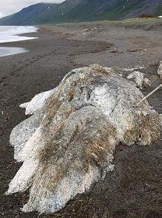 海の古代生物か?ロシアの海岸に打ち上げられた謎の死骸